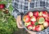 Дневница 1200-1300 денари, платено сместување и храна: Овој град во Македонија има потреба од берачи на јаболка