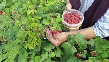 За собирање малини во Финска плаќаат 200 евра на ден
